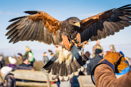 A Harris Hawk lands on the leather glove of its handler. Stock Photo