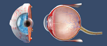 3D illustration of a cross-section of the human eye in a side view and a frontal view