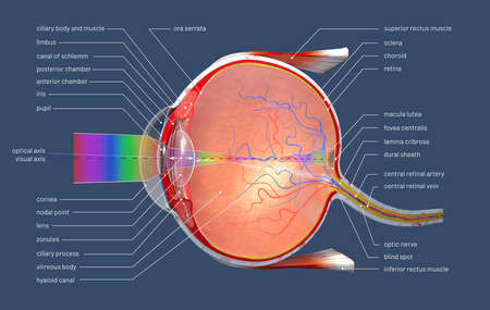 3d illustration of a cross section of the human eye with explanations and inscription