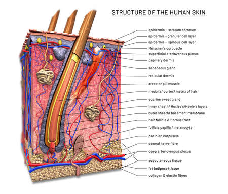 Structure of the human skin, cross section of hair follicle with descriptions - 3d illustration Foto de archivo