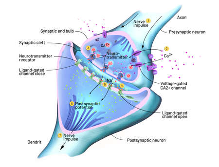 Cross section of a synapse or neuronal connection with a nerve cell - 3d illustration Фото со стока - 134470997