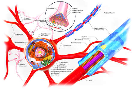 Cross section of a neuron and cell-building with descriptions - 3d illustration Archivio Fotografico