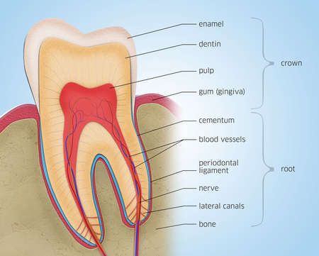 Cross-section of a tooth with descriptions - 3d illustration