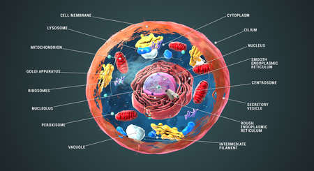Labeled Eukaryotic cell, nucleus and organelles and plasma membrane - 3d illustration Stock Photo