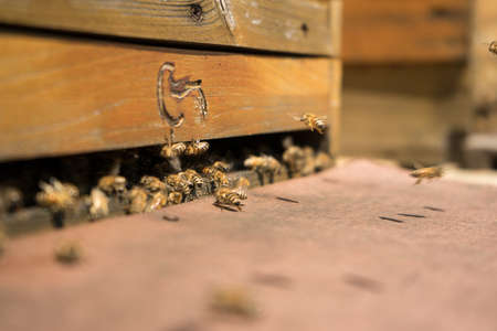 Honeybees fly and leave their beehive in summer