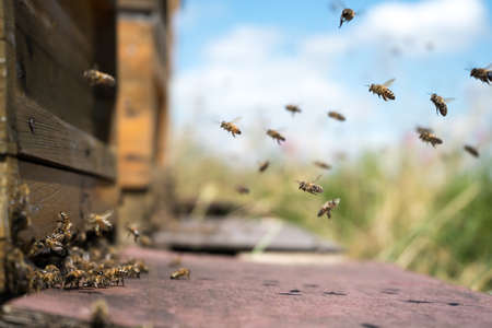 Honeybees fly and leave their beehive on a meadow in summer