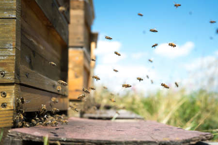 Honeybees fly and leave their beehive on a forest meadow in summer
