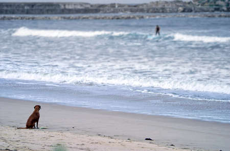 A dog is sitting on the beach waiting for his master that is surfing waves on the beach Standard-Bild