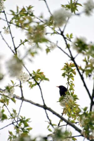 A blackbird sits in a blossoming cherry tree in summer Standard-Bild