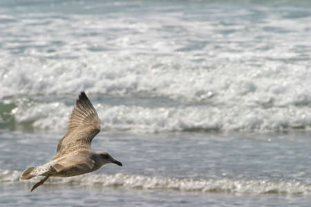 Young seagull flying over beach in front of approaching waves
