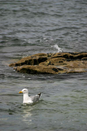A sea gull stands on a rock in the swell of the Atlantic ocean looking for food
