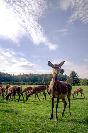 Close up of group of red deer standing in clearing eating grass Standard-Bild