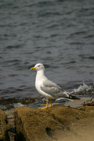 A sea gull stands on a rock in the swell of the Atlantic ocean looking for food Standard-Bild - 163832852
