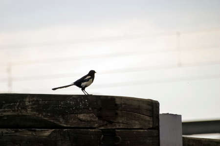 a magpie sits on a wooden beam
