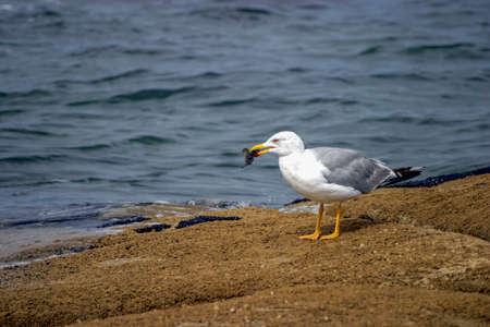 A sea gull stands on a rock in the swell of the Atlantic ocean eating its prey