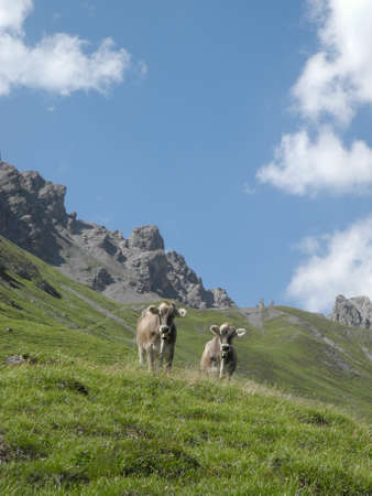 Two cattle standing on a meadow in the swiss alps with mountains and clouds in the background