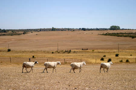 A herd of sheep walks close together across a barren and dry landscape in search of food