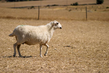 A single sheep walks across a barren and dry landscape in search of food and its herd Standard-Bild