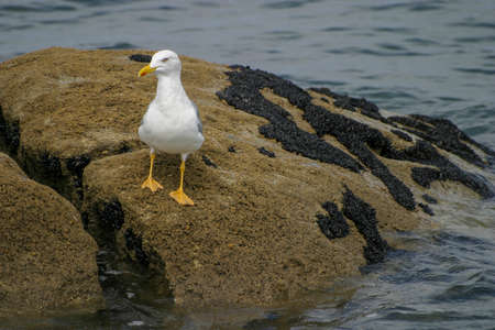 A sea gull stands on a rock in the swell of the Atlantic ocean looking for food Standard-Bild - 163831868