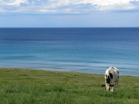 A happy cow grazes in a meadow right on the beach by the Old Atlantic Ocean