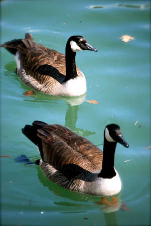 Geese Pair, Color photo