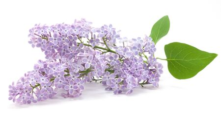 Lila flores sobre un fondo blanco