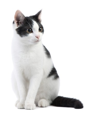 cute black and white kitten on a white background