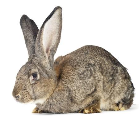 Beau lapin big sur un fond blanc Banque d'images - 8077699
