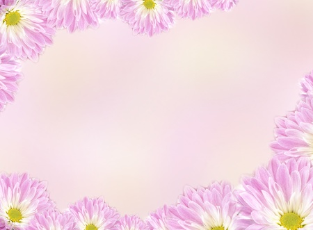 Flowers. Cute pink chrysanthemum for your design photo
