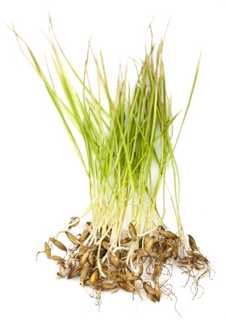 The germ of sprouting barley root for your design