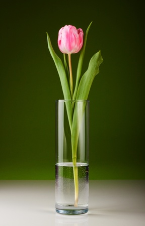 beautiful fresh pink tulip for your design