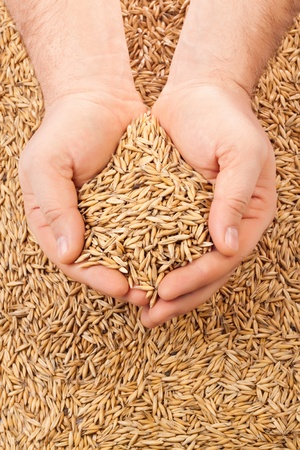 healthy grains: handful of crops of oats in their hands, for your design