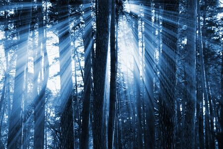 black and white forest: sunset in the dark forest for you design Stock Photo