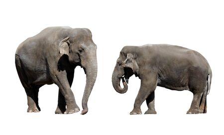 two large elephant isolated on a white background