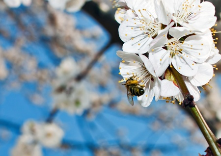 Macro of bee harvesting in open apricot flower  photo