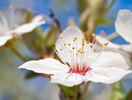 blossoming spring flowers of apricot to your design Stock Photo - 9584649