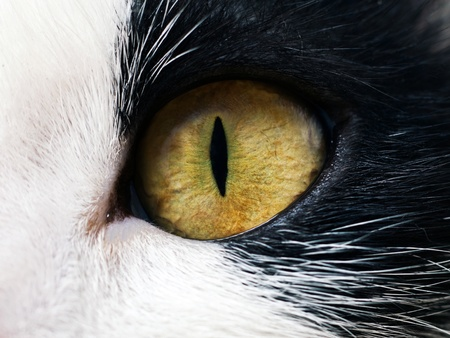 portrait of yellow-eyed cat Stock Photo - 9834488