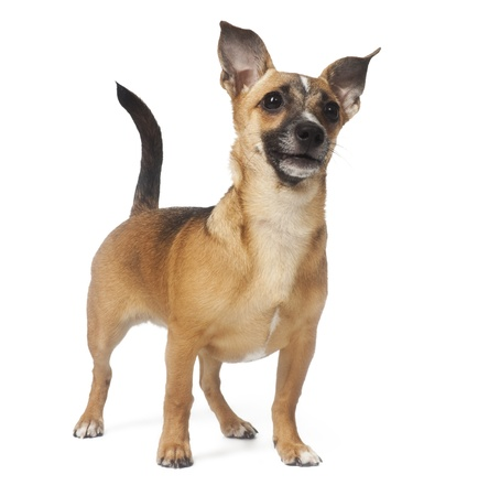 small dog (Russian toy terrier) over white Stock Photo - 9834518