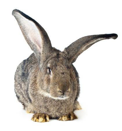 Beau grand lapin sur fond blanc Banque d'images - 10048757