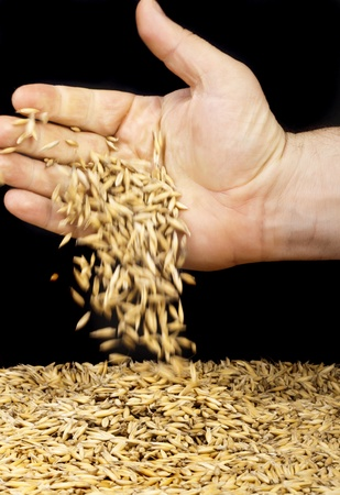 handful of crops of oats in their hands, for your design  photo