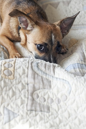Dog sitting on the bed of the owner Stock Photo - 10930850