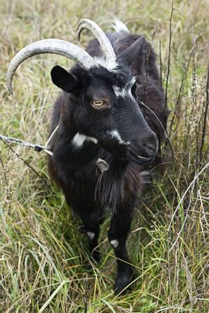are grazed: Goat grazed on a meadow  Stock Photo