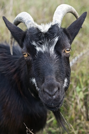 Goat grazed on a meadow  Stock Photo - 10966402