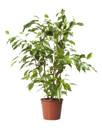 small table: ficus in a pot on a white background