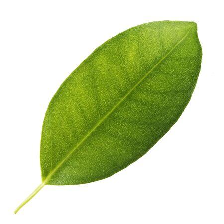 brisk: green leaf ficus on a white background
