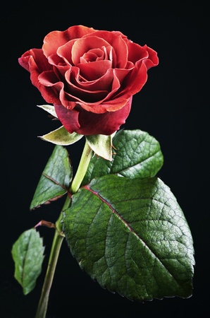 beautiful red rose with dew drops on a black background Stock Photo - 12363999