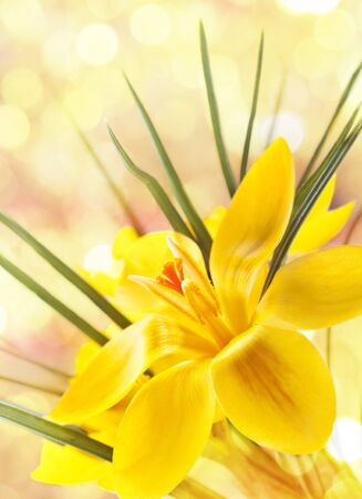 Nice background for your design with a yellow crocus flower Stock Photo - 13042171