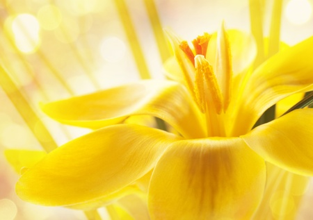 Nice background for your design with a yellow crocus flower photo
