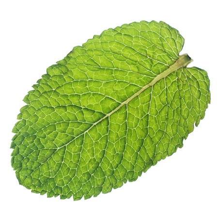 Isolated macro of fresh mint leaf  photo