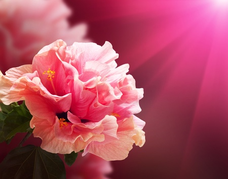 Nice background with hibiscus flowers Stock Photo - 13362944